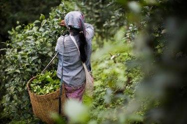 Femme palaung dans les plantations de thé