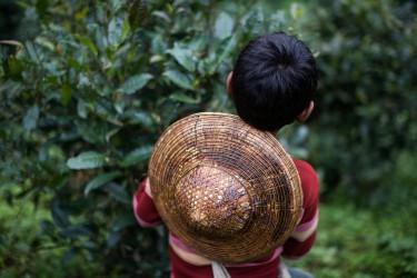 Jeune garçon dans les plantations de thé