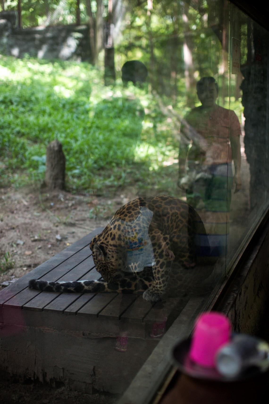 Léopard au zoo, Nay Pyi Taw
