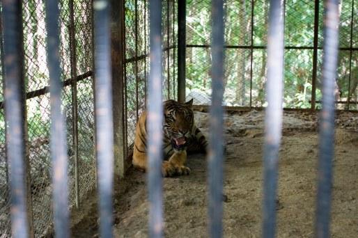 Tigre au zoo, Nay Pyi Daw