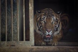 Tigre, Zoo de Nay Pyi Daw