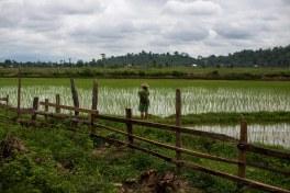 Rizières dans l'état Kachin